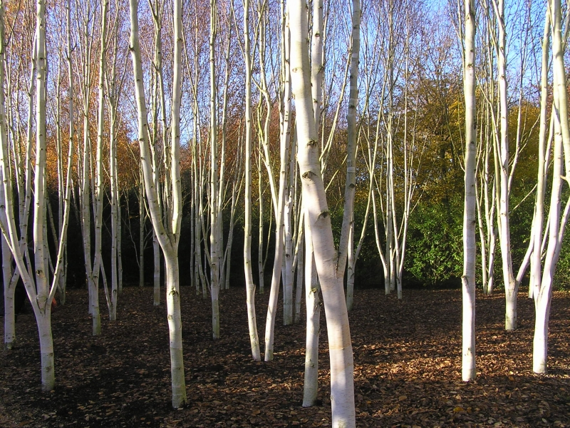 Photo of Silver Birch Trees at Anglesey Abbey